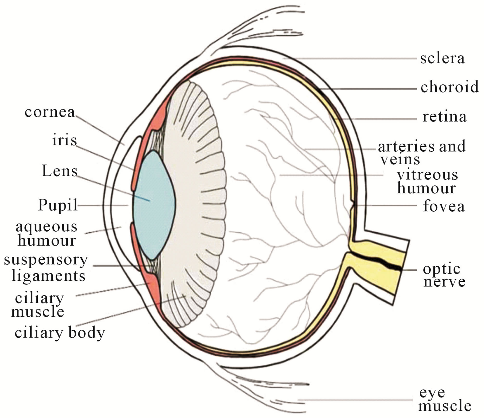 Simple Human Eye Diagram