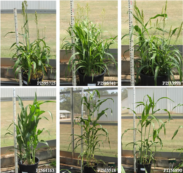 sweet sorghum thesis
