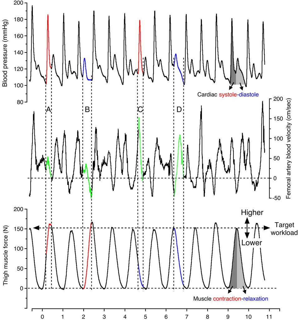 Force Flow Of Blood: Assessment Of Voluntary Rhythmic Muscle Contraction