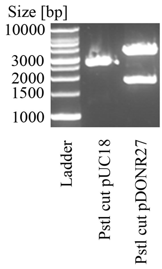 Selection Vector For Direct Cloning Of Proof Reading Polymerase Chain Reaction Products Based On