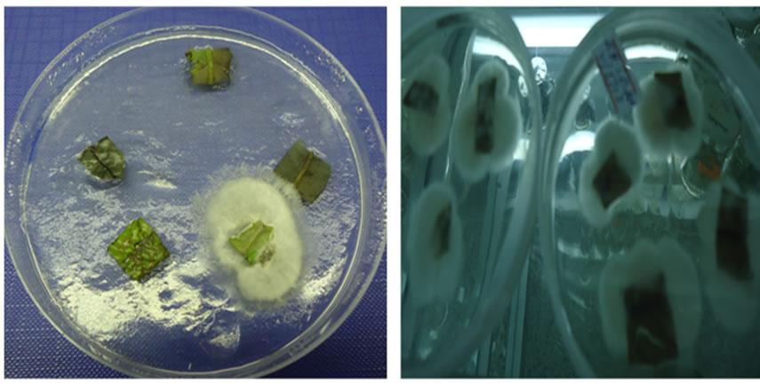 Development Of Sanitation Protocol For Leaf Explants Of B