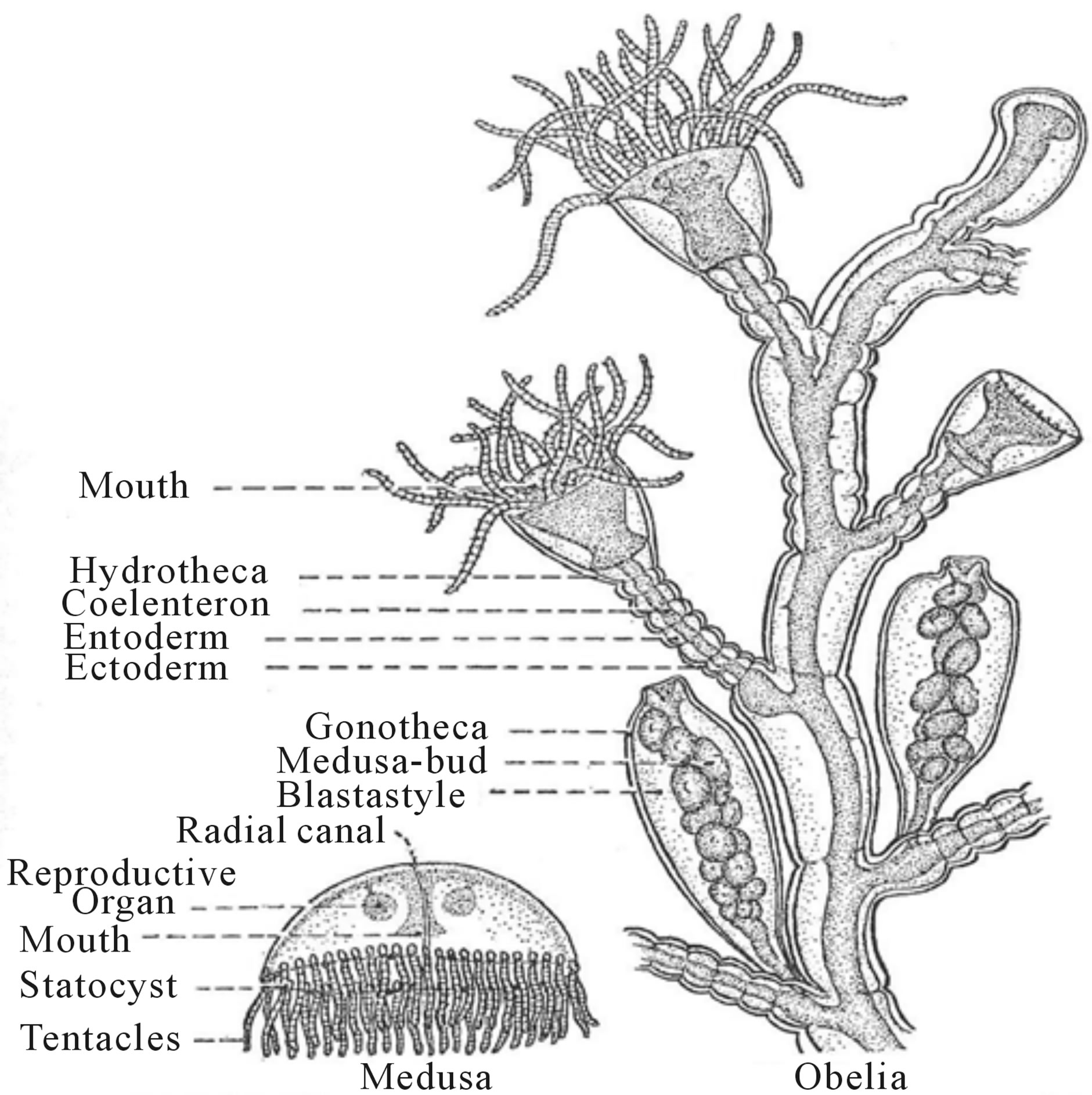 sea anemone diagram labeled