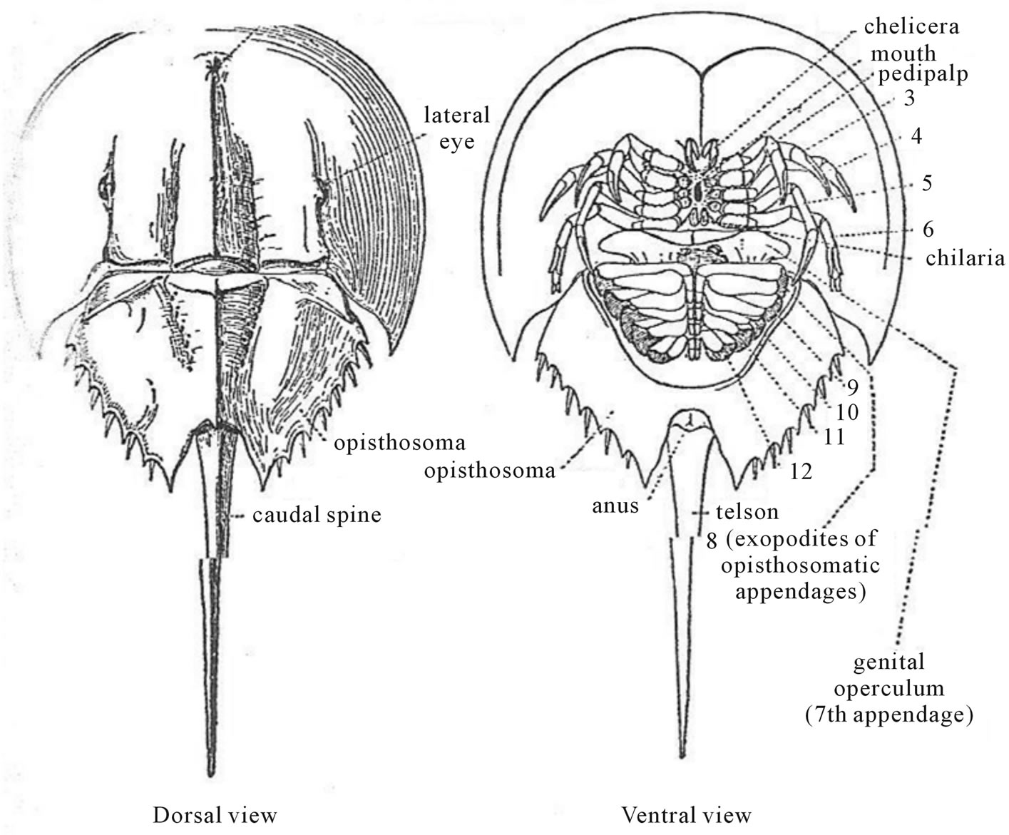 Horseshoe crab anatomy - crazywidow.info