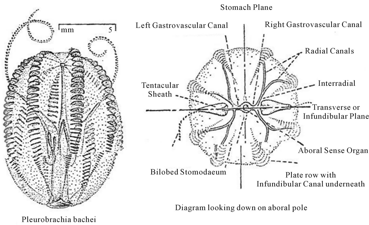 Occurrence Of Fibonacci Numbers In Development And Structure Of