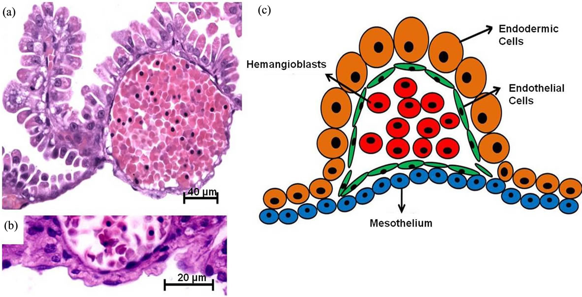 Figure 3   Possible differentiation of stem cells from fetal placental    Mouse Yolk Sac