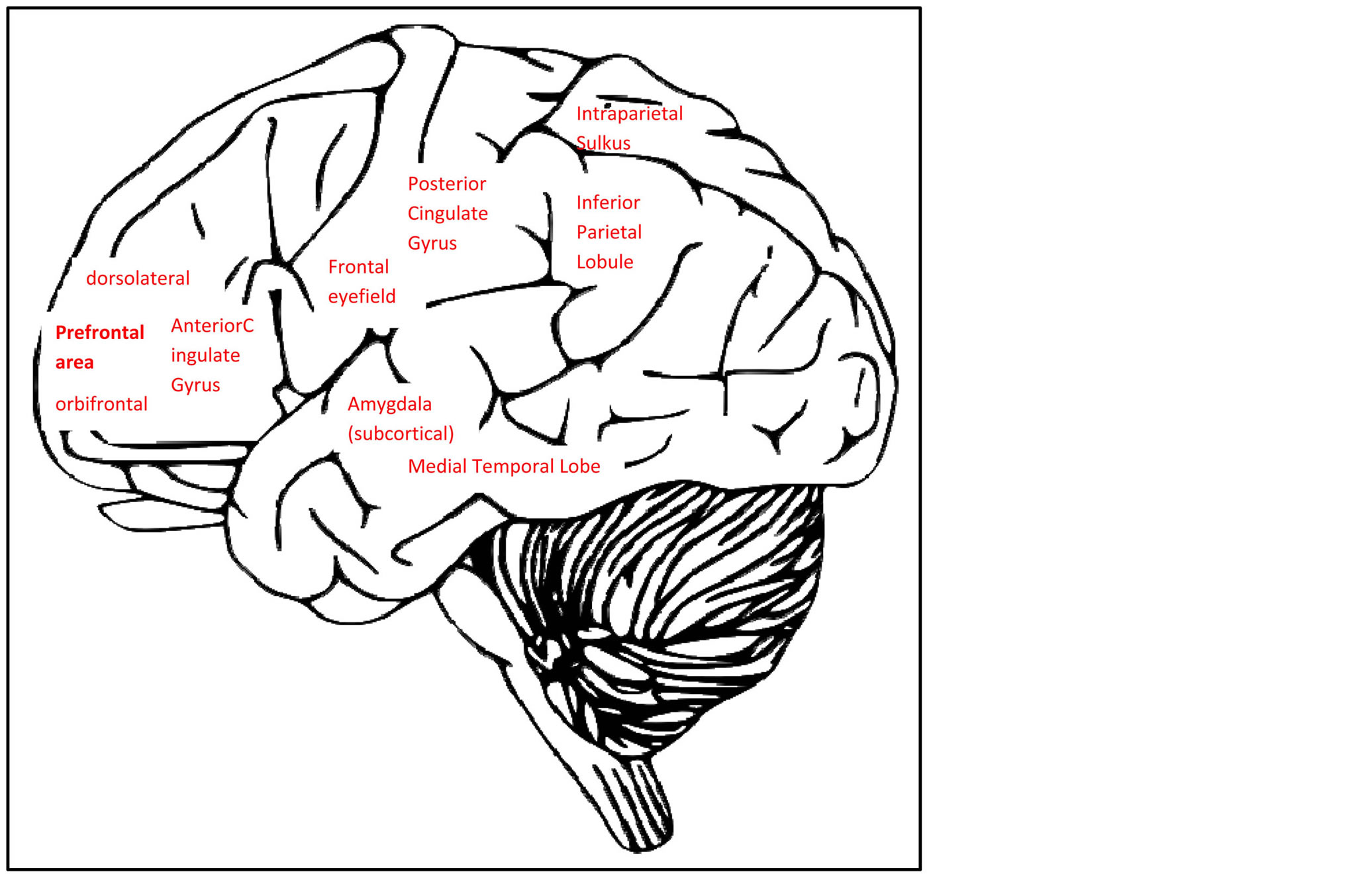 Cognitive Effects Of Late Life Depression Review Similar Results Simple Brain Diagram 505 Neuropsychological Findings