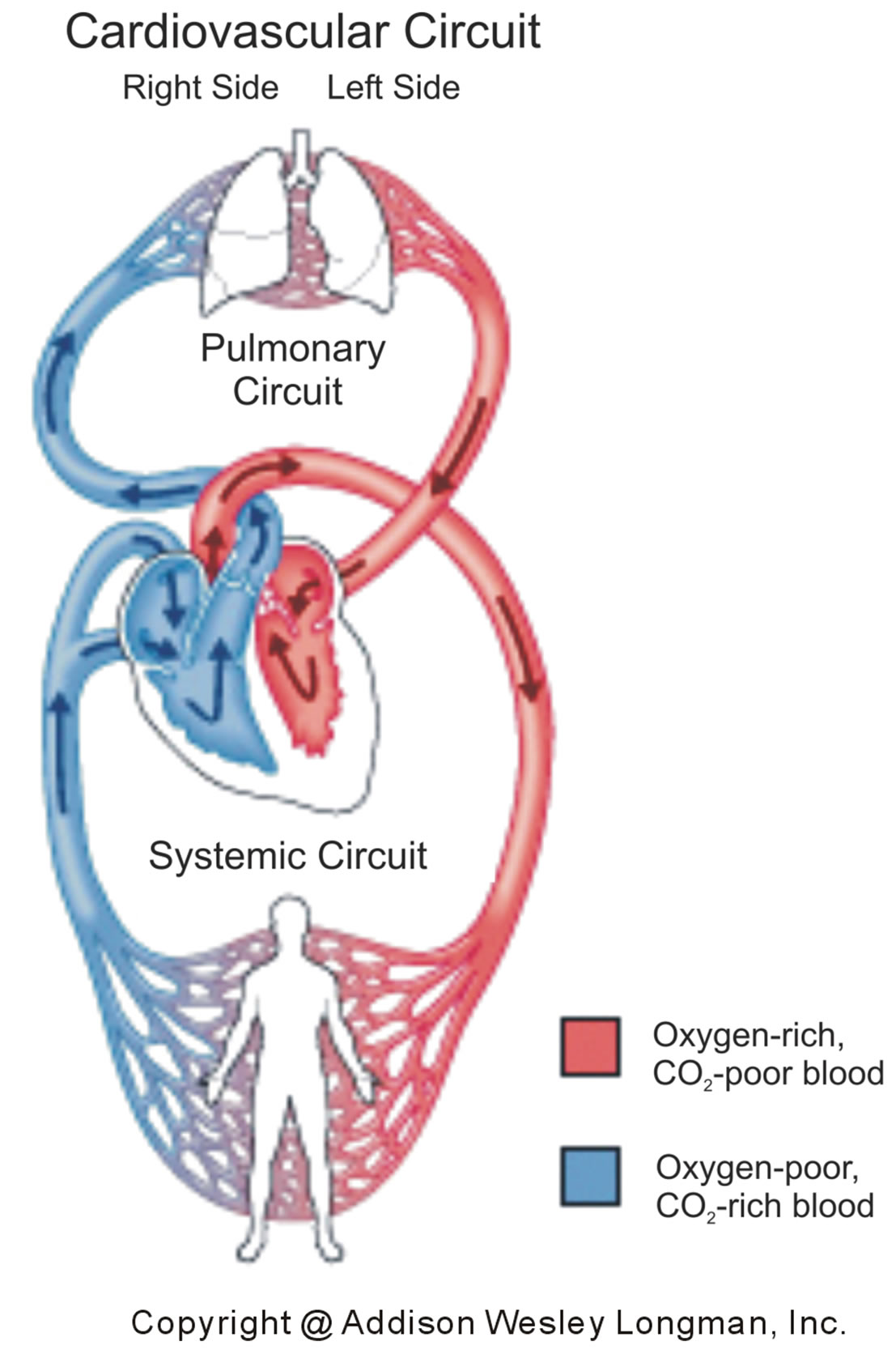 the pulmonary and systemic circuts We explain pulmonary circuit and systemic circuit with video tutorials and quizzes, using our many ways(tm) approach from multiple teachers this lesson will examine the flow of blood as it moves through the pulmonary circuit.