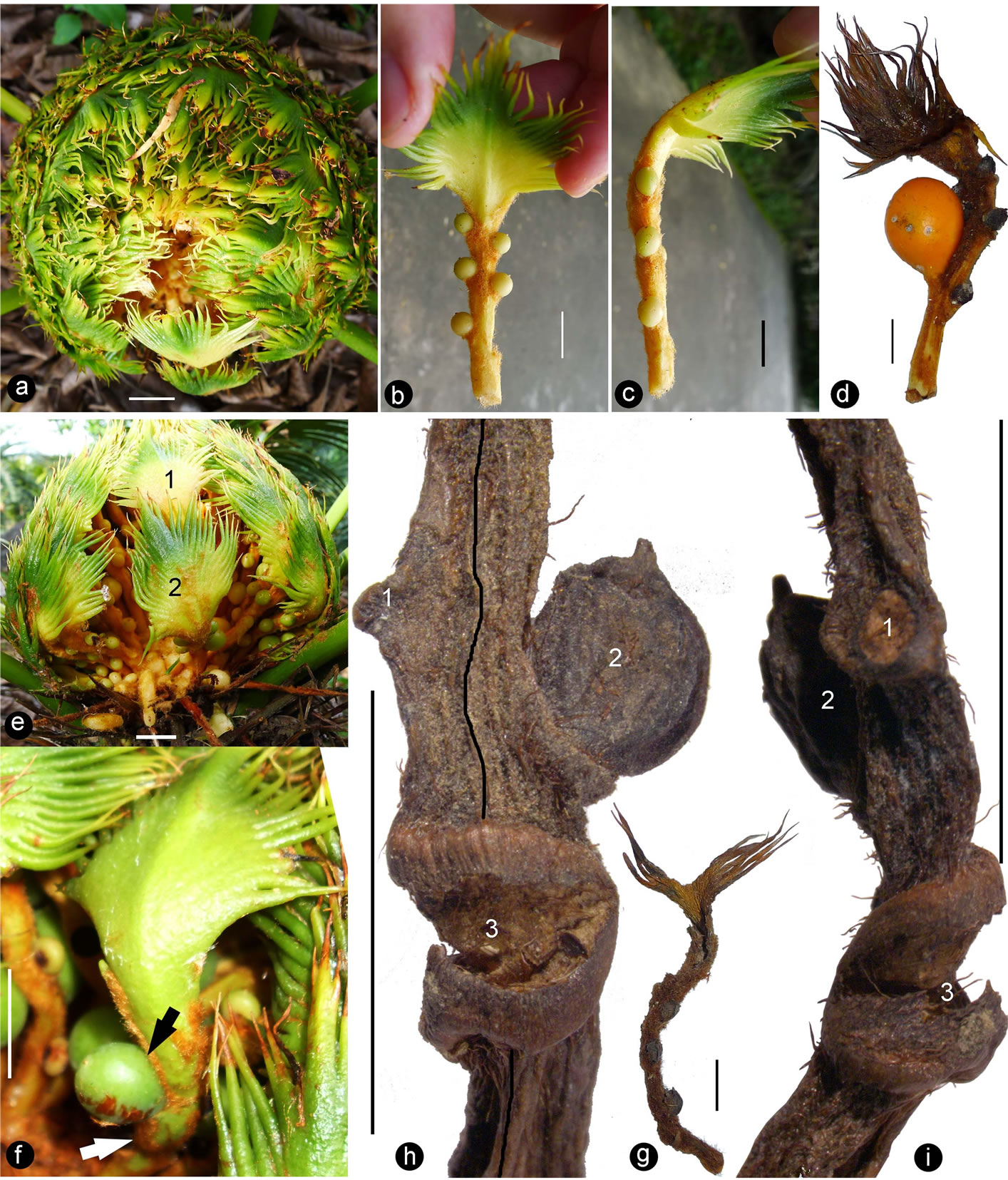 Mechanical Pressure, Not Genes, Makes Ovulate Parts Leaf-Like in <i ...