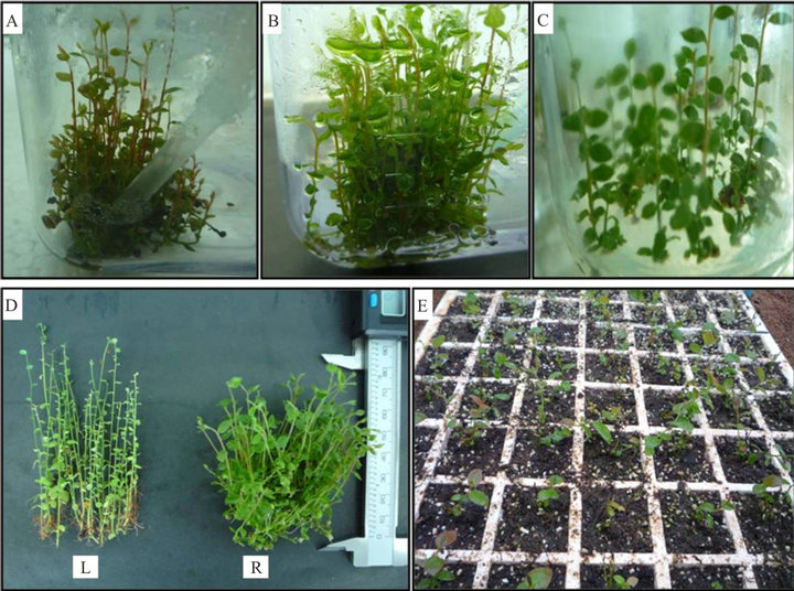 An Approach for Micropropagation of Blueberry (<i>Vaccinium