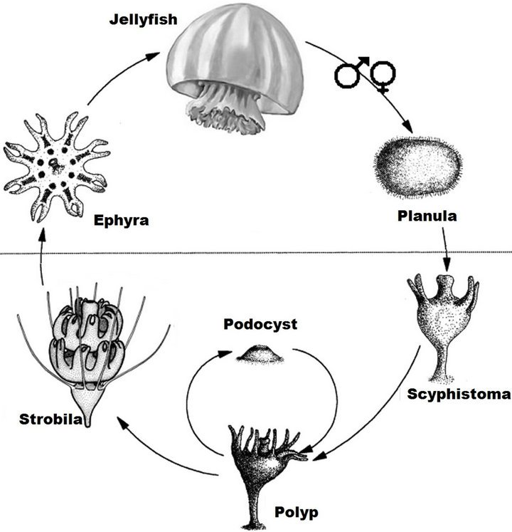 The Jellyfish Fishery In Mexico